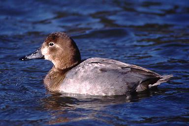 市川の自然 | 鳥 | ホシハジロ